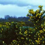 image-14-gorse-shrub-f2